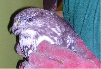 the injured buzzard